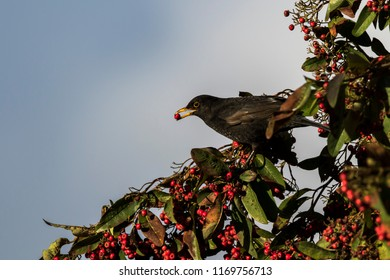 Blackbird feeding on red berries during winter in Scotland