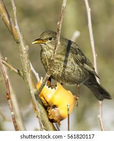 blackbird, female, eating an aple / Turdus merula