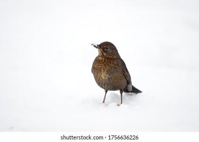 Blackbird - Weiblicher Blackbird im Schnee auf dem Holzboden