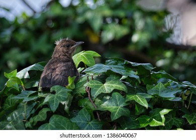 Blackbird fledgling in an ivy bush