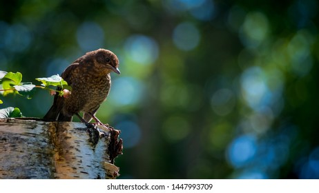 Blackbird fledgling perched on a the stump of a tree in summer sunshine with green trees and leaves providing creamy bokeh in the background