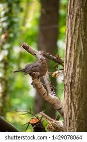 Blackbird in the forest in summer