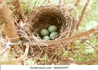 A blackbird has built a nest in the forest. She laid eggs in the nest and raised the chicks.