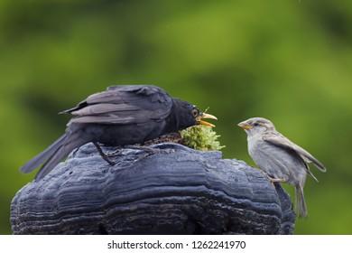 Blackbird and House Sparrow / Turdus merula / Passer domesticus