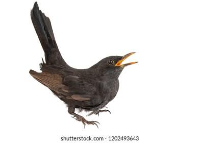 Blackbird isolated on white background. Male Eurasian Blackbird (Turdus merula).