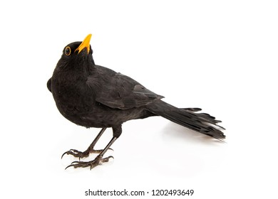 Blackbird isolated on white background. Male Eurasian Blackbird (Turdus merula).
