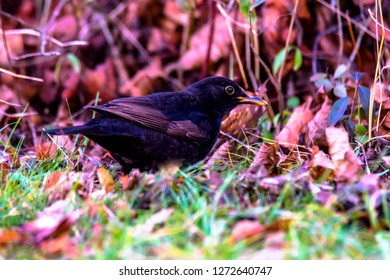 Blackbird is looking for food in autumn leaves