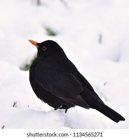 blackbird looking in snow for food