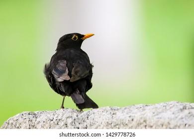 Blackbird male bird sitting on stone rock. Black songbird sitting and singing on rock with out of focus green bokeh background. Bird profile portrait wildlife scene.
