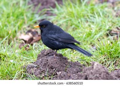 Blackbird male (Turdus merula) sitting on the mole heap