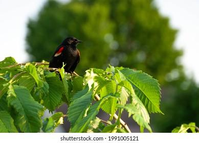 Blackbird on branch at sundown