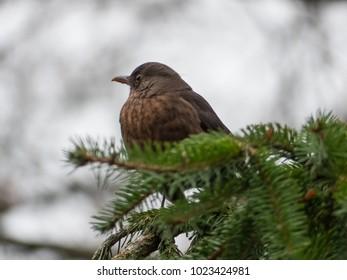 Blackbird on the tree. Thrush on the tree.