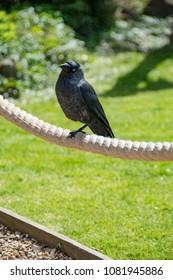 Blackbird Perched On Rope In Beer Garden
