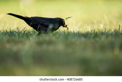 A blackbird plucks an ant from the grass.