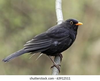 Blackbird portrait on branch