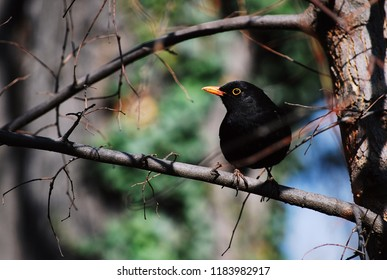 A blackbird resting on a branch.
