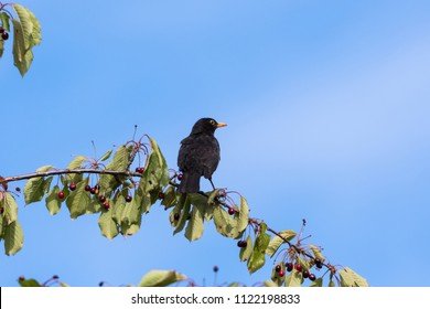 Blackbird sitting on a cherry branch with ripe berries by a blue sky