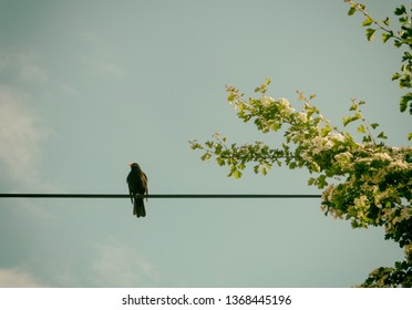 Blackbird sitting on the power line. Common blackbird sitting on the power line with cloudy sky in background. This bird species (Turdus merula) is also called Eurasian blackbird.