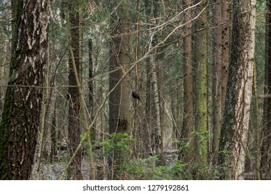 Blackbird sitting on a tree branch. Blackbird forest bird. Bird in the forest. Wildlife in nature