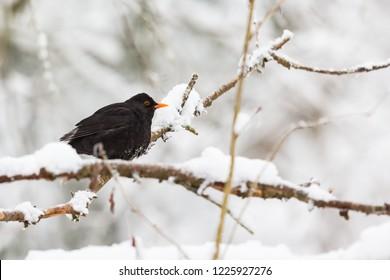 Blackbird in the snowy woods