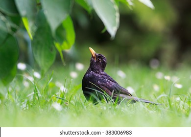 Blackbird in spring grass looks up with fresh green background