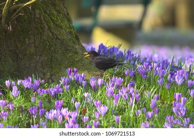 A blackbird is standing  on the grass covered with flowering purple crocuses and a beech in the background