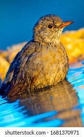 Blackbird taking a bath in a forest pond in Castilla y León Spain  Europe