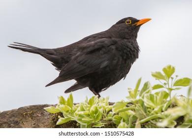 Blackbird (Turdus merula, Amsel in german)