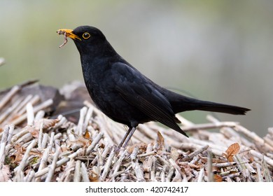 Blackbird (Turdus Merula) collects food for the young