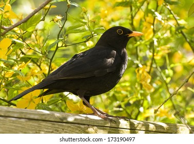 The Blackbird (Turdus merula) is a common bird in England UK being found in many town gardens. This is a male.