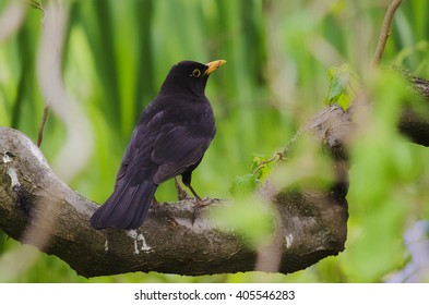 The Blackbird (Turdus merula) is a common bird in Bucharest being found in many town gardens. This is a male.