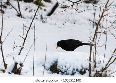 Blackbird, Turdus Merula, looking for food on a snowy ground in wintertime