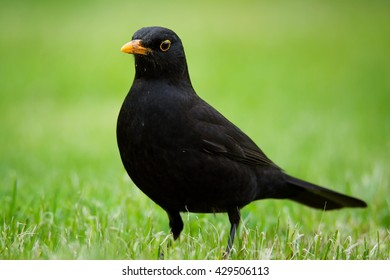 Blackbird (Turdus merula) looking at the short grass for food for their young