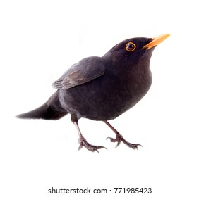Blackbird (Turdus merula, male) is one of best world singer. Side view. Isolated on white background