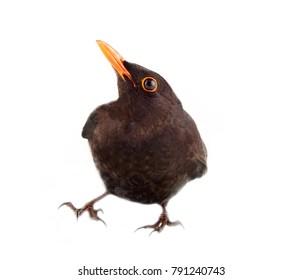 Blackbird (Turdus merula, male) Side view. Isolated on white background
