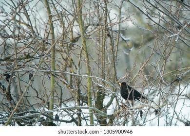 Blackbird turdus merula male sitting in a tree
