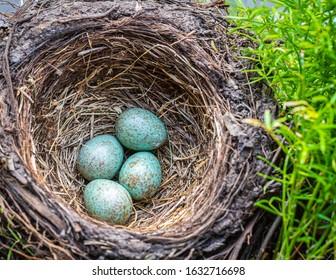 blackbird (Turdus merula), blackbird nest with four eggs in a flowers box with geranium plants