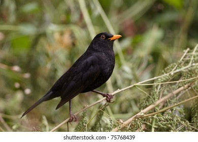Blackbird (Turdus Merula) on Madeira