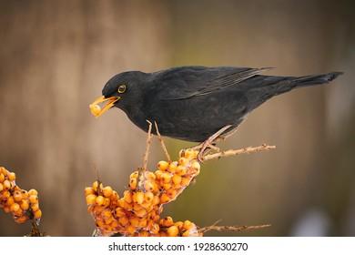 Blackbird, Turdus merula, on orange berries. Close up Eurasian Blackbird, sitting bird, bird in the branch, black bird, europe, czech republic.