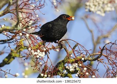 Blackbird, Turdus merula, single male on rowan berries, Midlands, December 2010