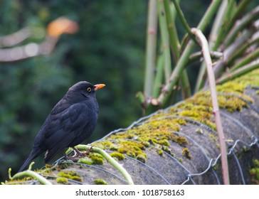 Blackbird (Turdus Merula) spotted in Dublin, Ireland