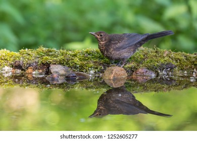 Blackbird - Turdus merula stands near water on twigs with moss and stones. Mirroring on the water surface. Wildlife.