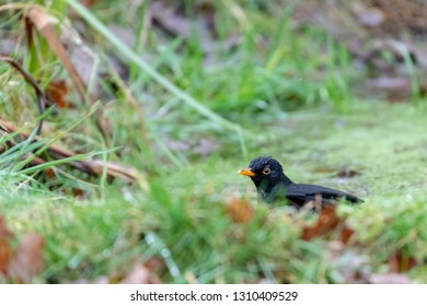 Blackbird (Turdus merula) thrush having a bath