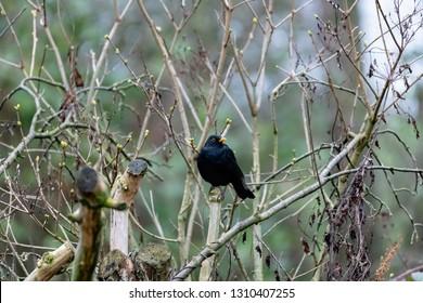 Blackbird (Turdus merula) thrush perching on the tree branch