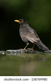 Blackbird, Turdus merula,single male at water, Hungary,