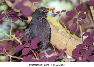 Blackbird with a worm in the beak sitting on the branch of a tree