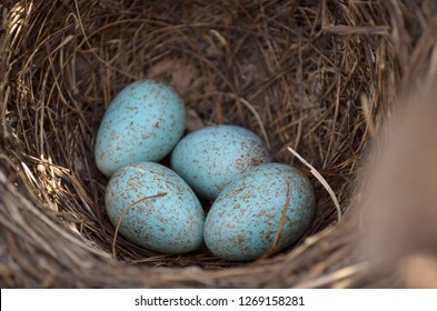 Blackbird's nest (Turdus Merula). Four turquoise speckled eggs in the nest of the Eurasian Blackbird in their natural habitat. Fauna of Ukraine. (Shallow depth of field, close-up).