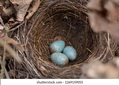 Blackbird's nest (Turdus Merula). Three turquoise speckled eggs in the nest of the Eurasian Blackbird in their natural habitat. Fauna of Ukraine. (Shallow depth of field, close-up).