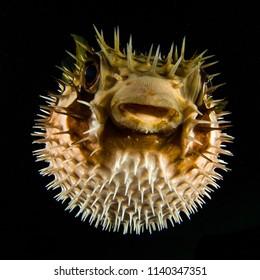 Black-blotched Porcupinefish - Diodon liturosus