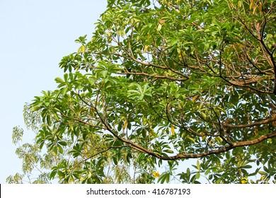 Blackboard Tree, Devil Tree, Alstonia scholaris (Linn.) R. Br., Flowers, herbs, Thailand has medicinal properties.